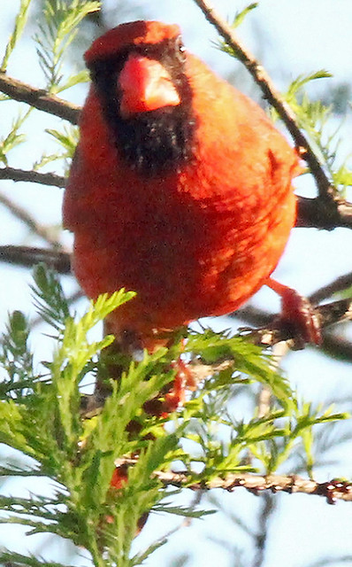Cardinal with the eyeball