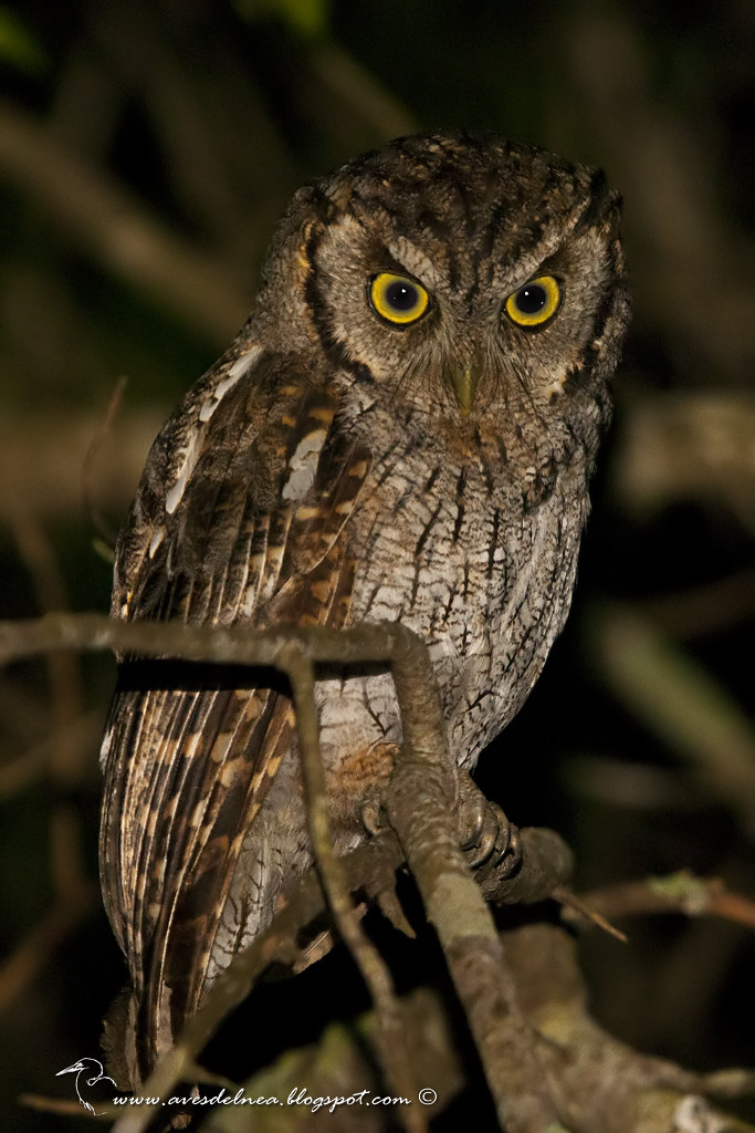 Alilicucú común (Tropical Screech-Owl) Megascops choliba