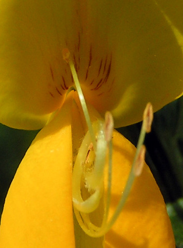 20080511 20674 0901 Jakobus Ginster Blume gelb_K_01b
