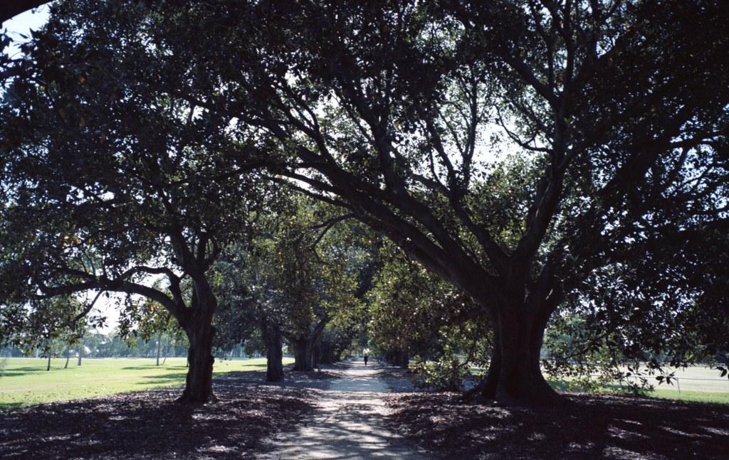 moreton bay figs