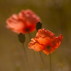 poppies - klaprozen