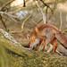 Foxes, Amsterdamse waterleidingduinen by lienete
