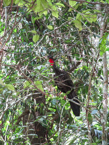 Tikal: une sorte de dinde...