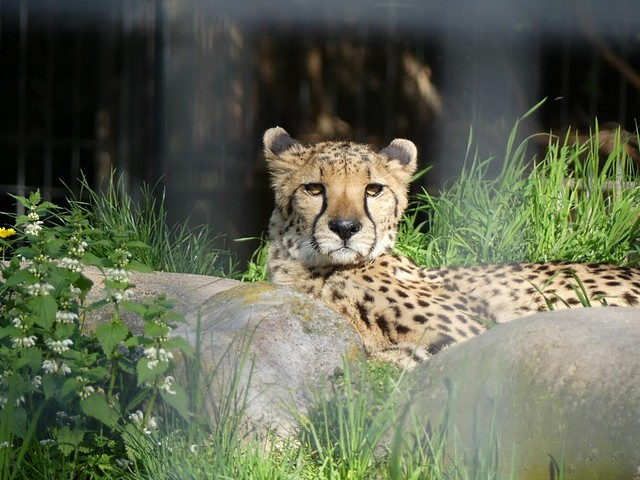Gepard, Wilhelma