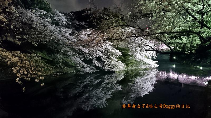 日本東京北之丸公園千鳥之淵賞夜櫻花01
