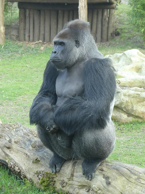 Gorilla, Zoo Krefeld