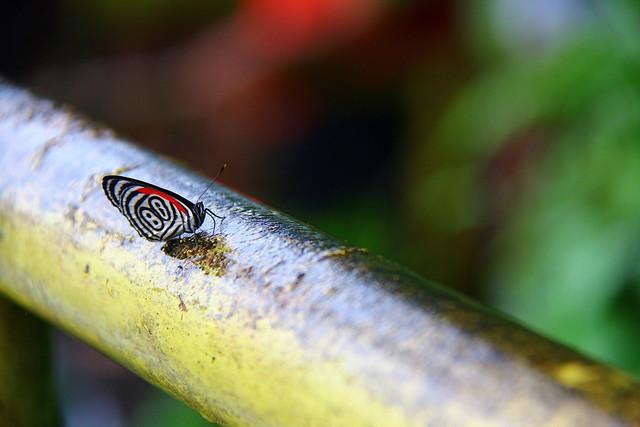 Butterfly 88 / Borboleta 88 - Cataratas do Iguacu - Foz do Iguacu / Brasil