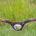The Great Soar | Bald Eagle by anoopbrar