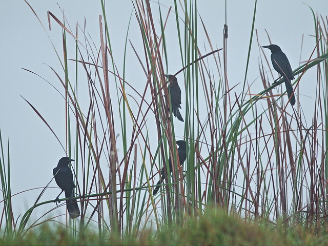 Boat-tailed Grackles in fog 20160109