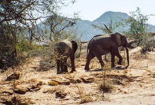Junge Elefantenbullen im Aba-Huab Gebiet, Damarland