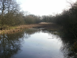 Epping Forest pond bullrushes
