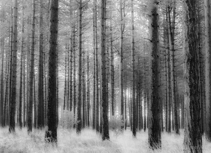 Pine trees are given an infrared treatment