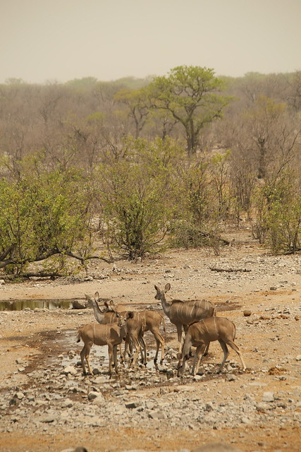 Kudu at Halali waterhole