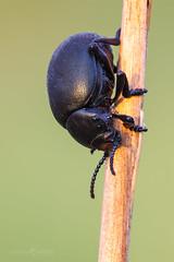 Bloody Nosed Beetle - Timarcha tenebricosa