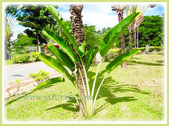 Emerging young plant of Ravenala madagascariensis (Traveller's Palm, Traveller's Tree), Feb 4 2016