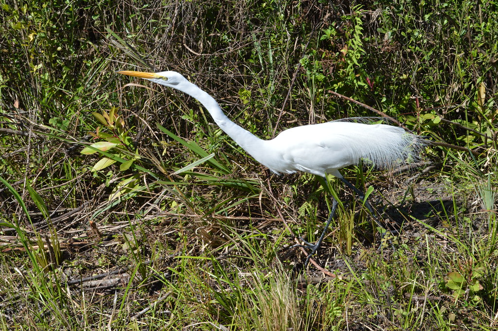 Great Egret #43