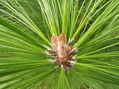 starr-131203-2634-Pinus_patula-needles_radiating_out-Polipoli-Maui