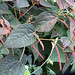 Small photo of Acalypha sp.