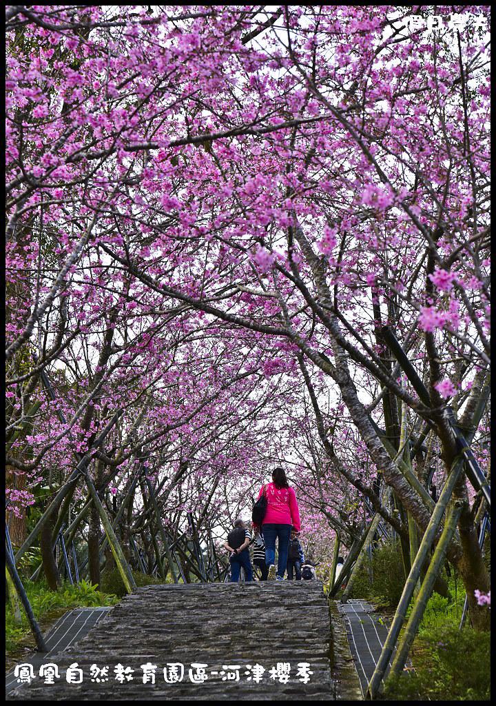 鳳凰自然教育園區-河津櫻季DSC_2270