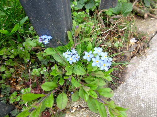 Little Blue Flowers on Dartmouth Park Hill