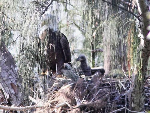 Bald Eagle male Pride with eaglet 20160410