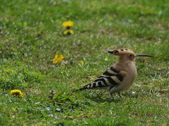 Hoopoes are back.2