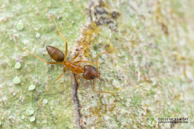 Ant (Formicidae) - DSC_7781