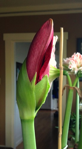 Red Pearl amaryllis bud, almost ready to pop!