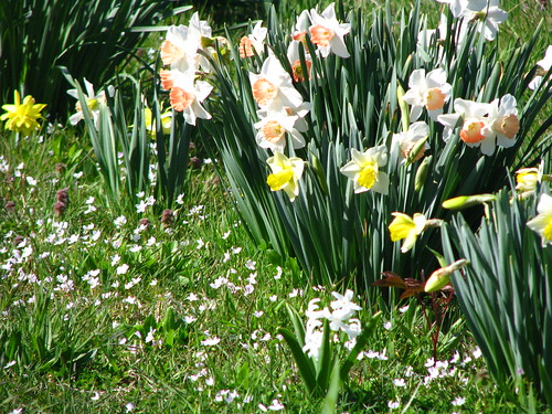 daffs and spring beauties