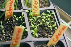 seedlings IMG_5253 - Copy
