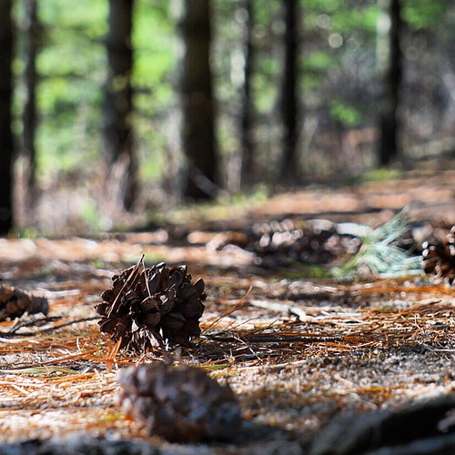 Landscape Zoomed In (The path was paved with pine cones) #dogwood52 #dogwoodweek14