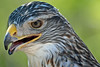 Pawnee, Ferruginous Hawk