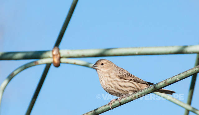 Brookside Inn/Pine Siskin