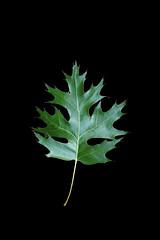 Quercus coccinea-Leaf_R_148_i1