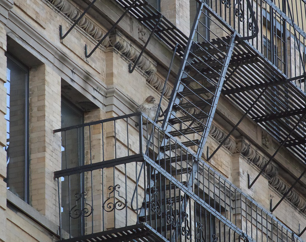 Christo roosts on a fire escape