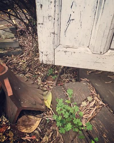 この葉っぱは花が咲くのでしたっけ? 今年初めてギャラリーのドアをオープンしました。今日から通常営業、よろしくお願いいたします。 #dooropen #antiqueshop
