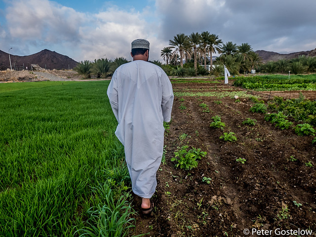 Said's farm in the Oman desert.