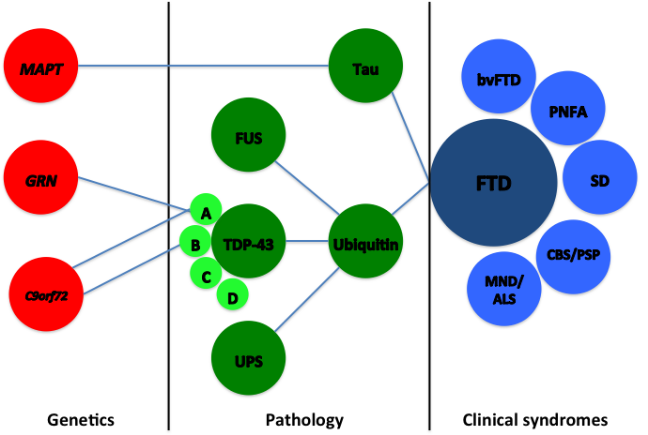 A diagram showing how different genes map on to changes in the brain and clinical syndromes of FTD