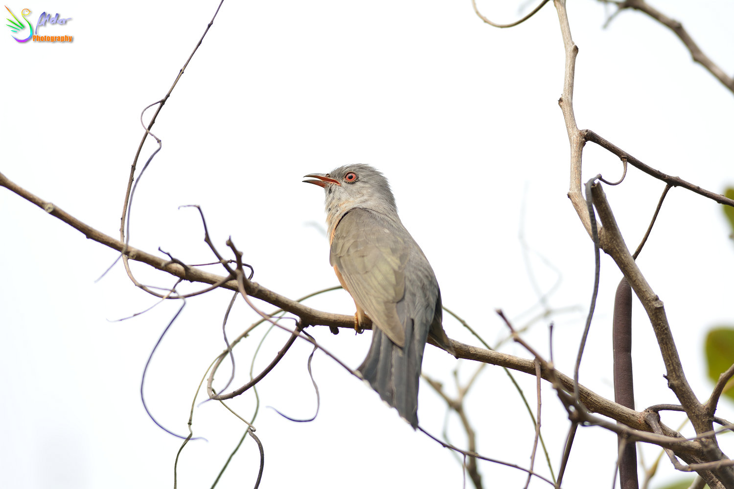 Plaintive_Cuckoo_1811