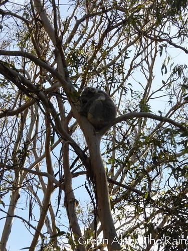 150911j Phillip Island Koala Conservation Centre _04 _SH