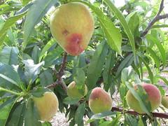 starr-150420-1703-Prunus_persica_var_persica-Tropic_Snow_fruit-Hawea_Pl_Olinda-Maui