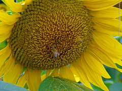 Sunflower and Bees, 8 Sept 2015