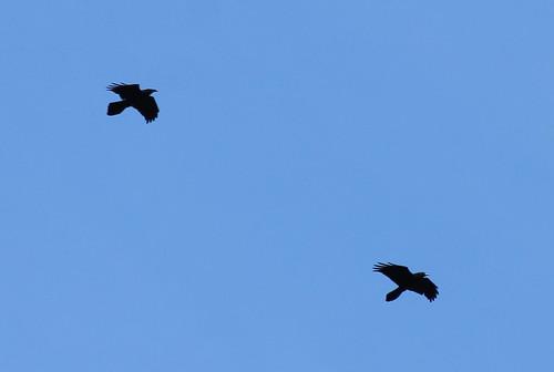 birds corvuscorax commonraven scattercreek birdsofwashington washingtonbirds