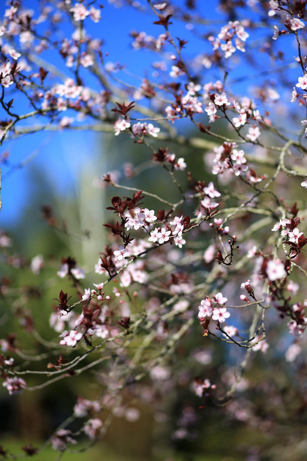 fleurs de cerisier rose