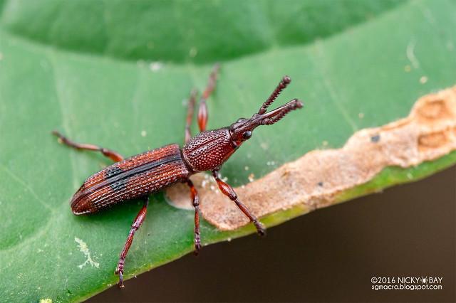 Straight-snouted weevil (Brentidae) - DSC_6145