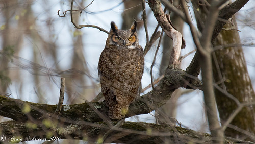 Great Horned Owl | by Craig Schriever