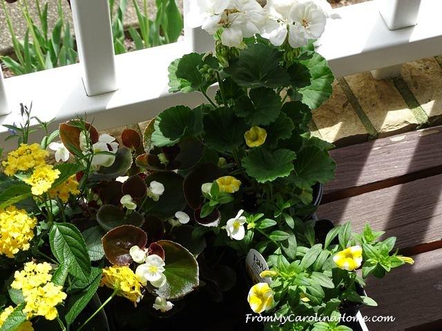 yellow super belles and white geranium