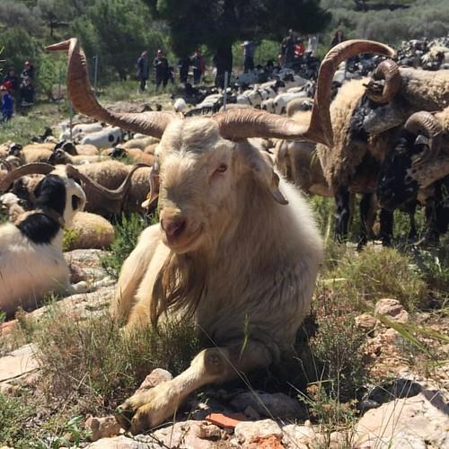 La cabra de Rasquera, completament blanca com aquest boc o clapada de negre, ve definida per les orelles caigudes cap endavant i sobretot pel gran banyam.