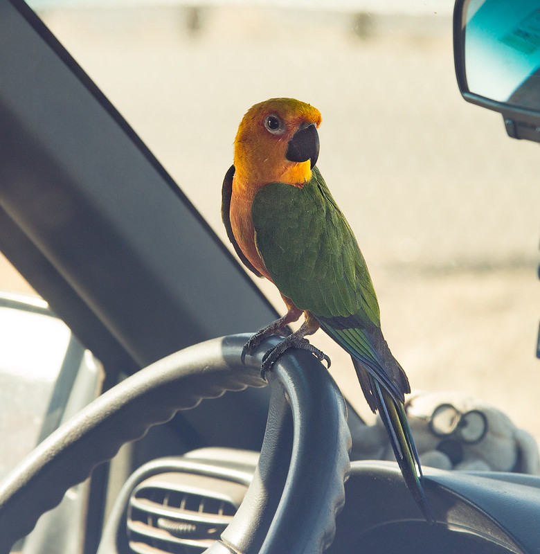 Parrot in a Car