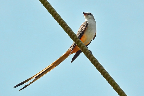 FL: Scissor-tailed Flycatcher in Color